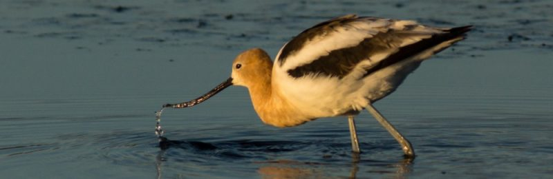 Avocet Spitting