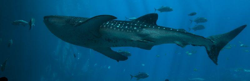 Whale Shark by Bob Phipps