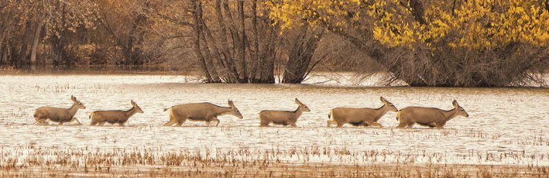 Deer Crossing Flooded Field by Don Wuori