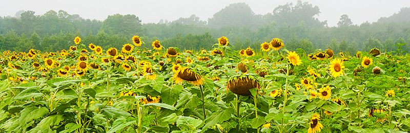 Sunflowers in Martin County