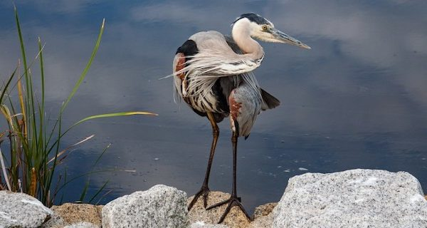 Twisted Heron – Rocky Wall