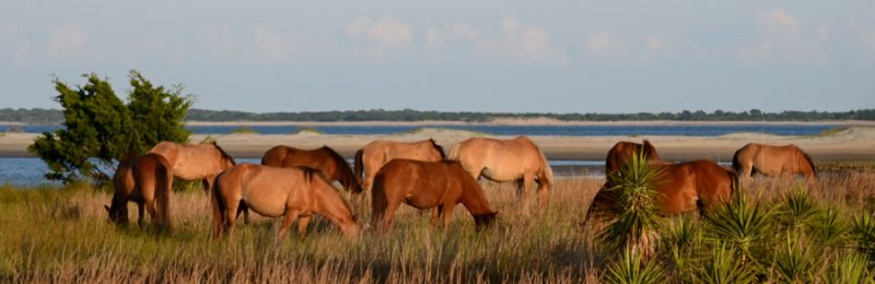 Wild Horses on Rachel Carson Preserve by Jacueline Tate